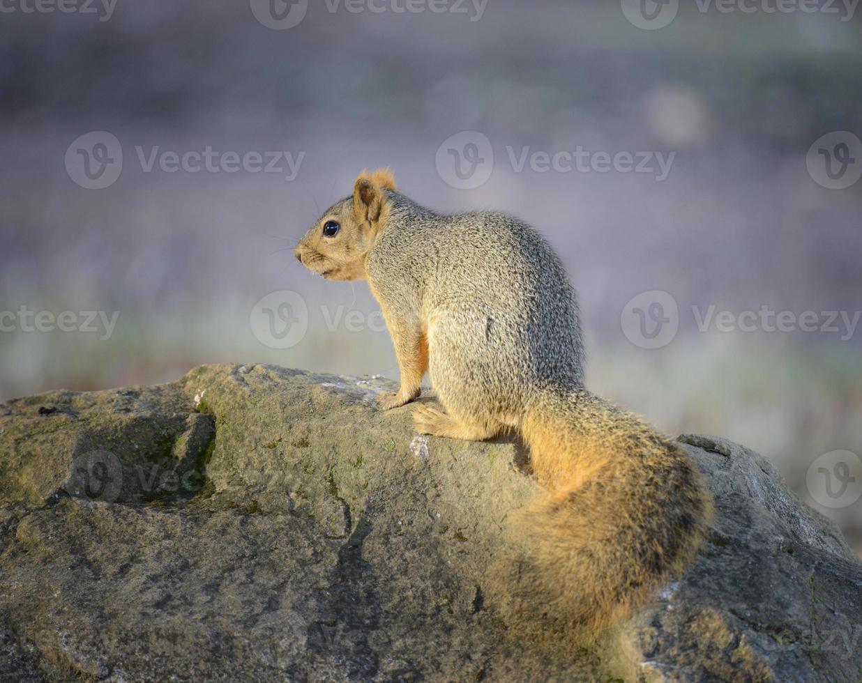 Eichhörnchen sitzt auf einem großen Felsen foto