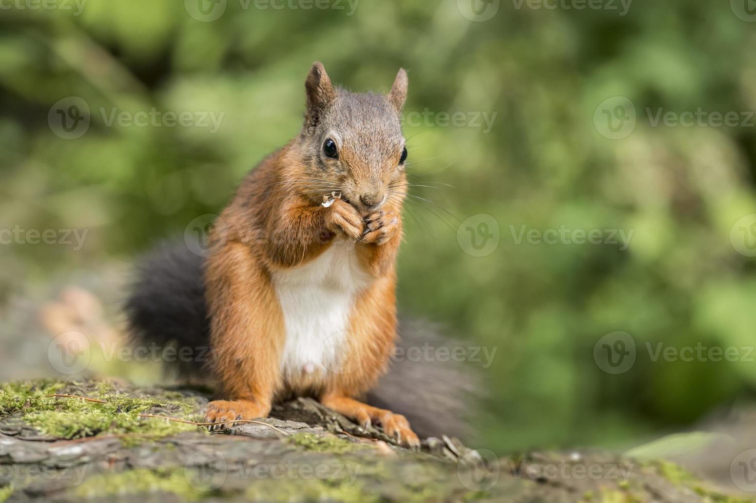 rotes Eichhörnchen, sitzend auf einem Baumstamm, der eine Nuss isst foto