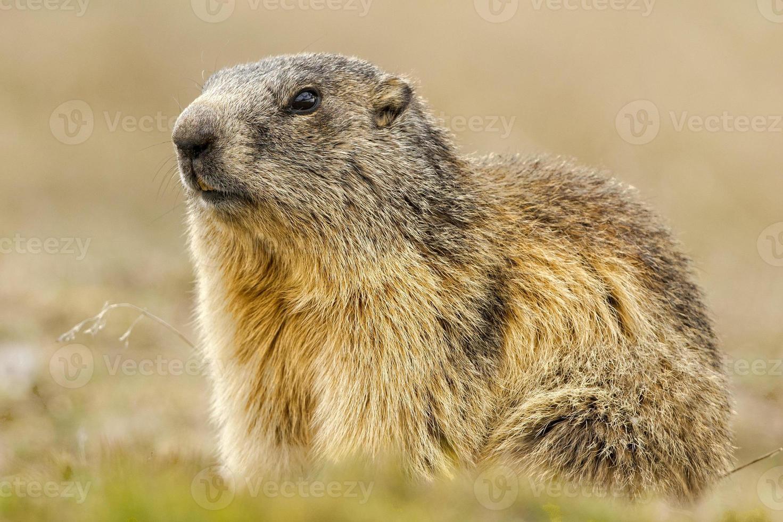 isoliertes Murmeltierporträt-Bodenschwein auf Berghintergrund foto