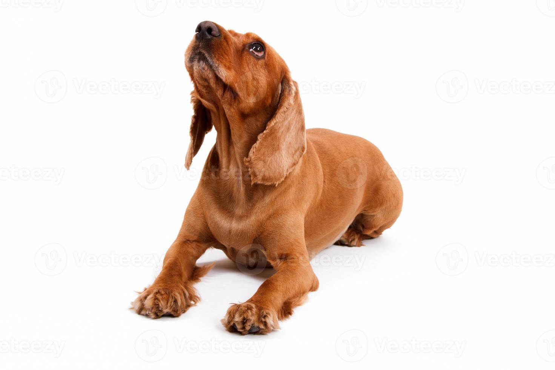 Englisch Cocker Spaniel Hund liegen foto