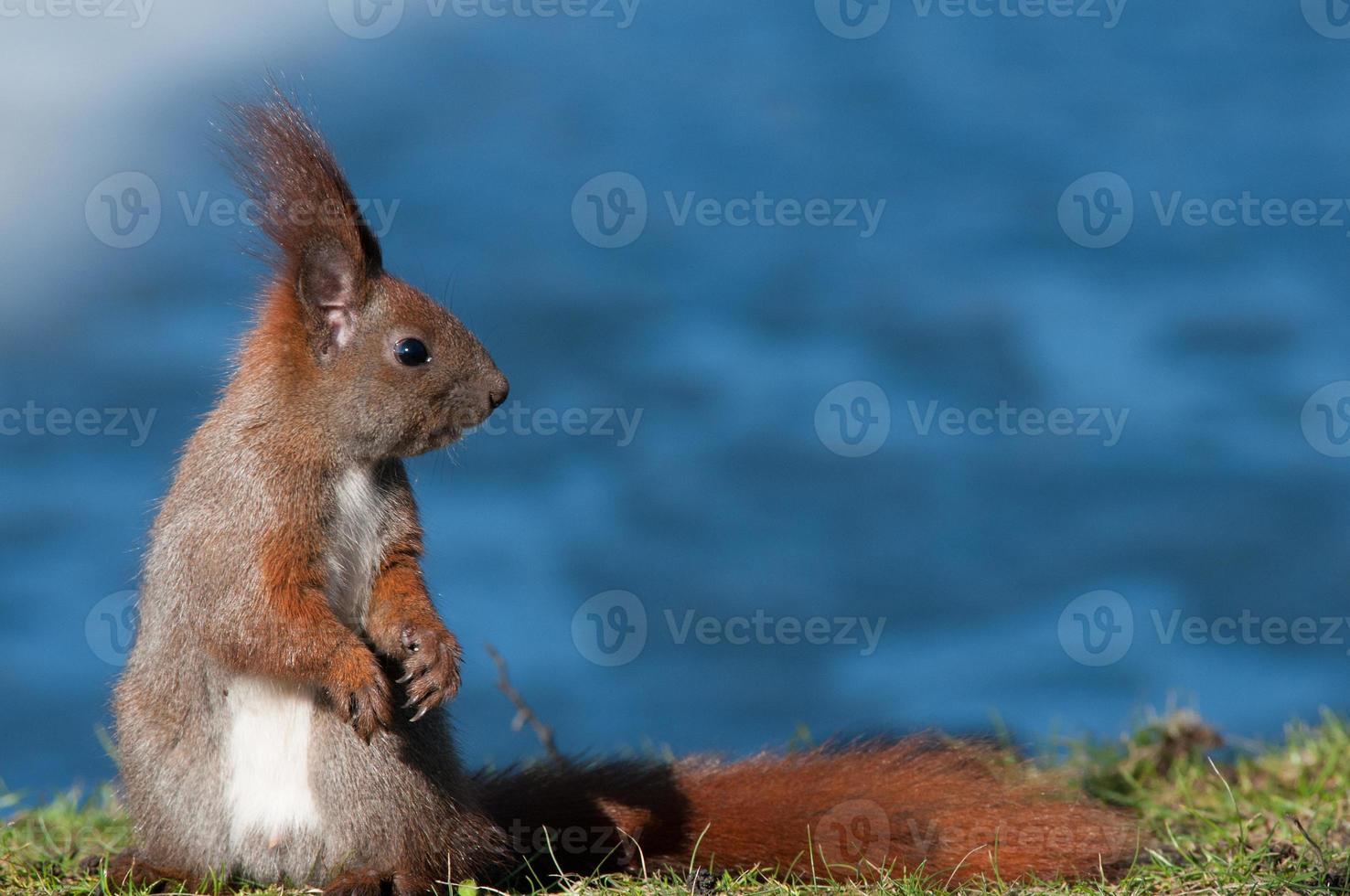 Europäisches Eichhörnchen sitzt am Ufer des Teiches foto