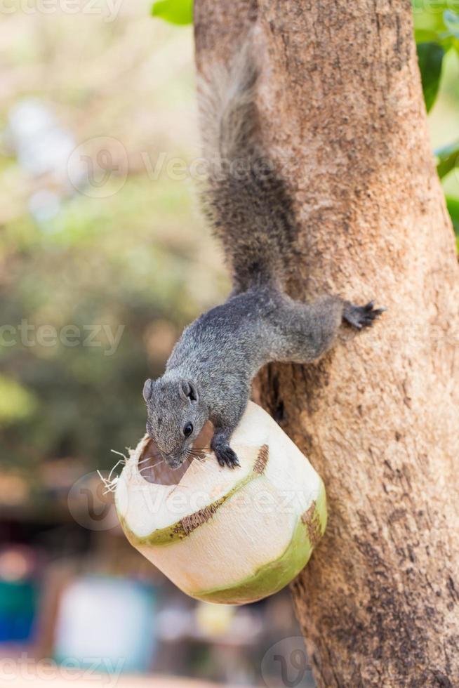 Eichhörnchen klettern auf Baum und essen die Kokosnuss foto