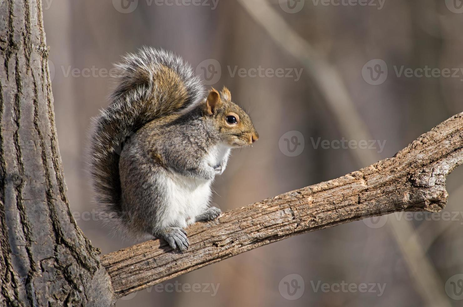 graues Eichhörnchen foto