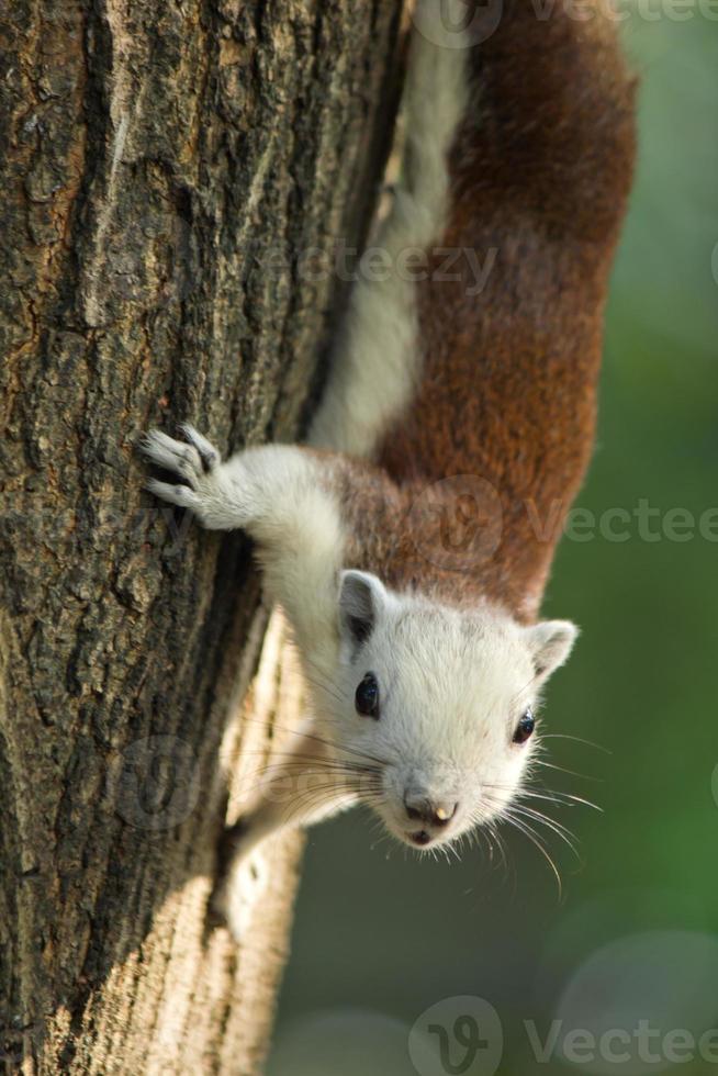 Eichhörnchen klettert auf Baum und schaut foto