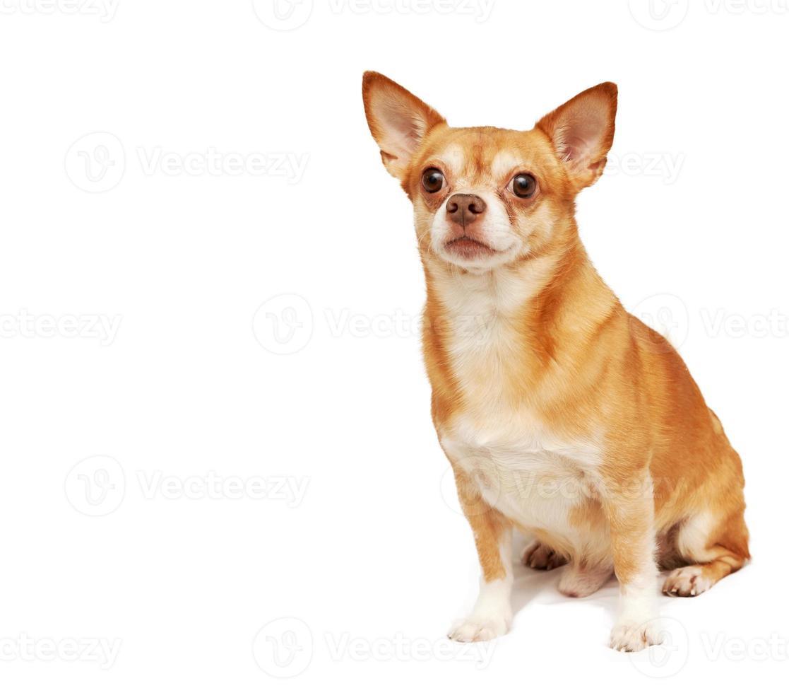 Chihuahua Hua Hund, lokalisiert auf einem weißen Hintergrund foto