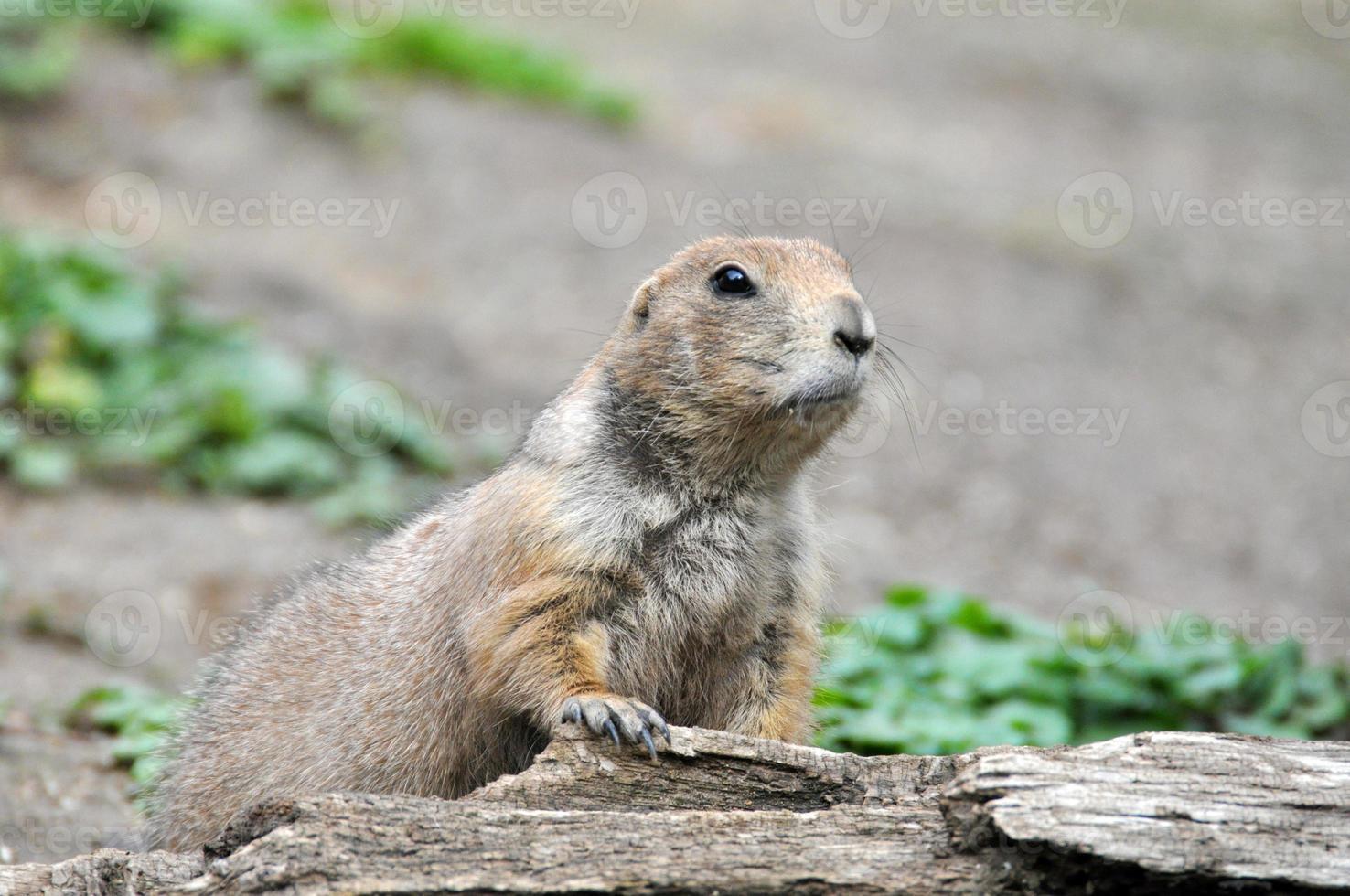 Europäisches Grundeichhörnchen - Spermophilus Citellus foto