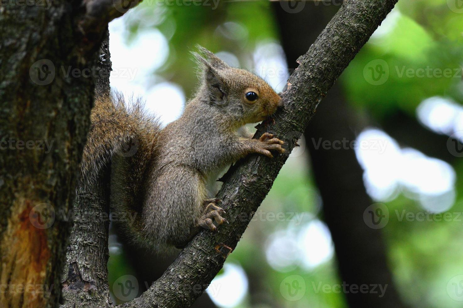 wildes Eichhörnchen foto