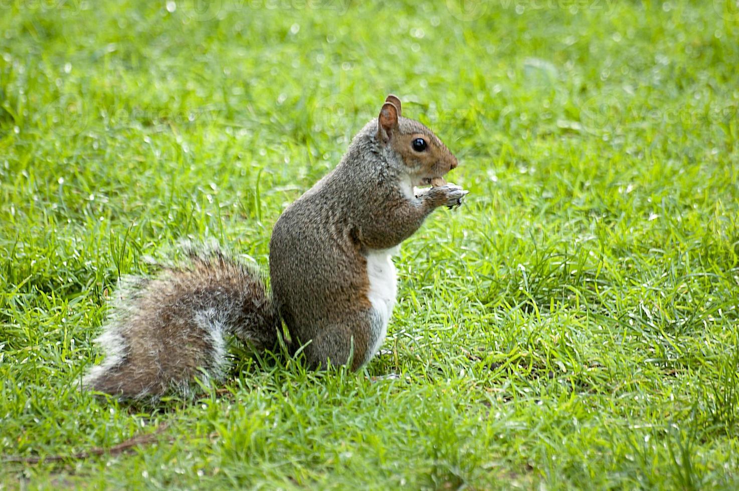 graues Eichhörnchen in der Wiesenseitenansicht foto