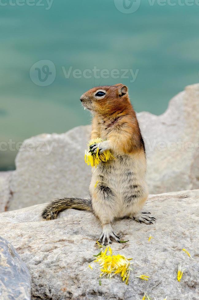 Chipmunk Eichhörnchen foto