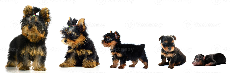 Evolution ein Yorkshire Terrier foto