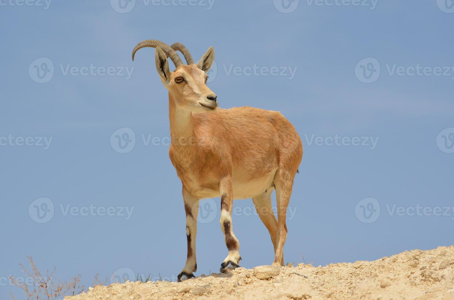 Ziege, die auf einem Felsen steht foto