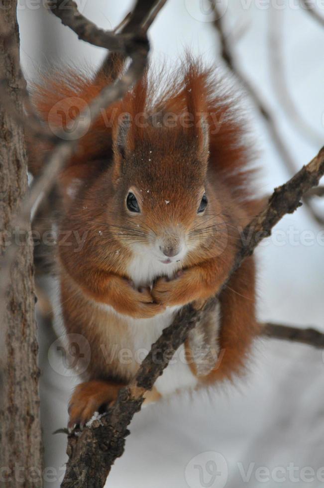 rotes Eichhörnchen foto