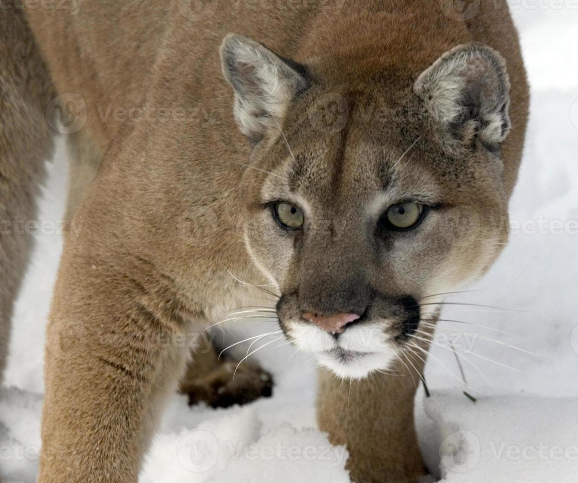 scharfe Augen des Pumas foto