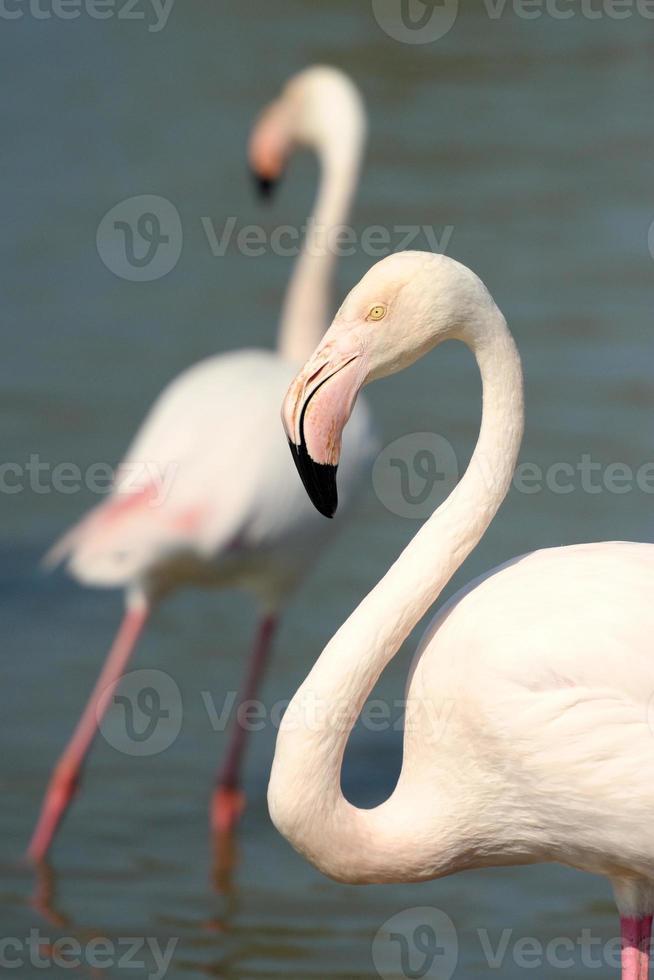 Porträt eines größeren Flamingos foto