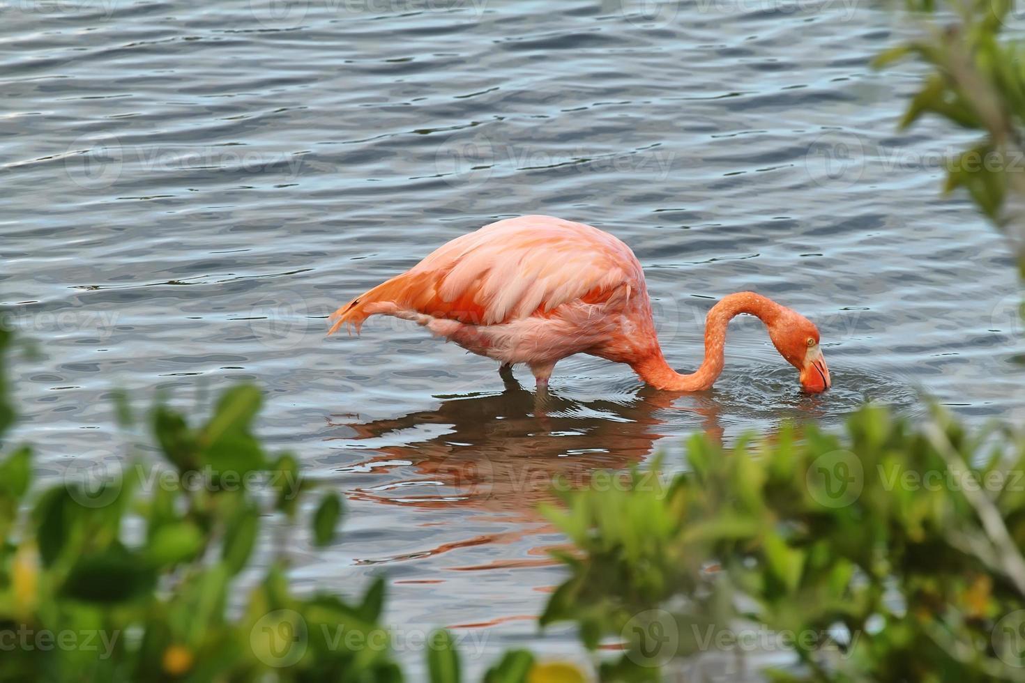 rosa größerer Flamingo in den Galapagosinseln foto