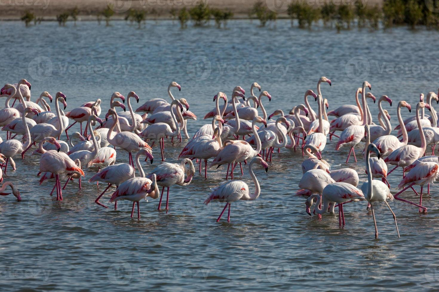 größere Flamingos in Dubai foto
