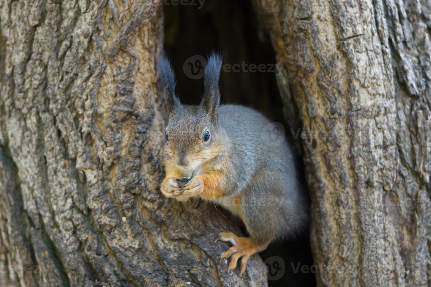 Das Eichhörnchen sitzt in einer Mulde foto