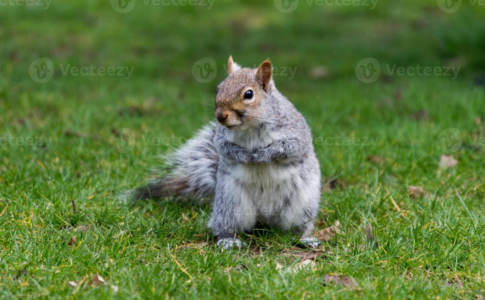 niedliches graues Eichhörnchen, das auf Gras in einem Park steht foto