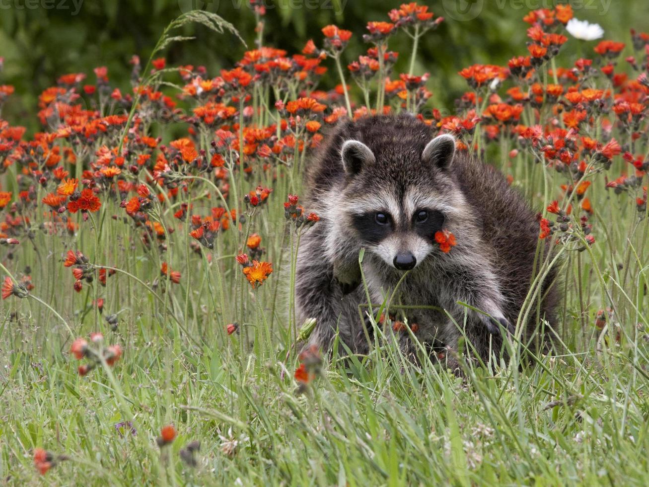 junger Waschbär, der in orange Blumen aufwirft foto