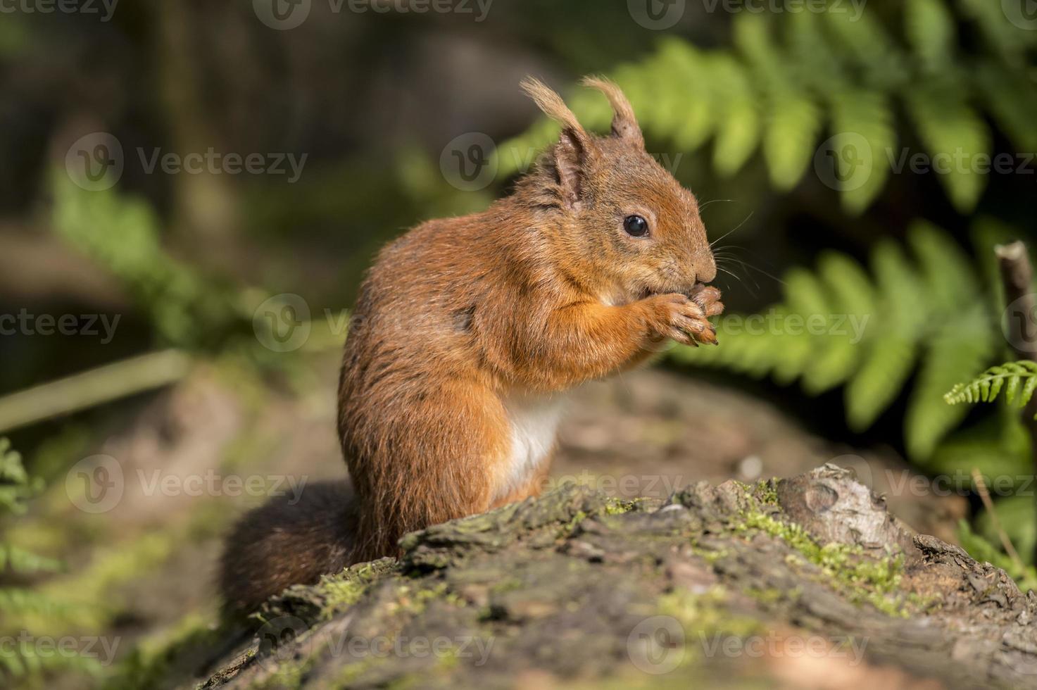 rotes Eichhörnchen, Sciurus vulgaris, auf einem Baumstamm foto