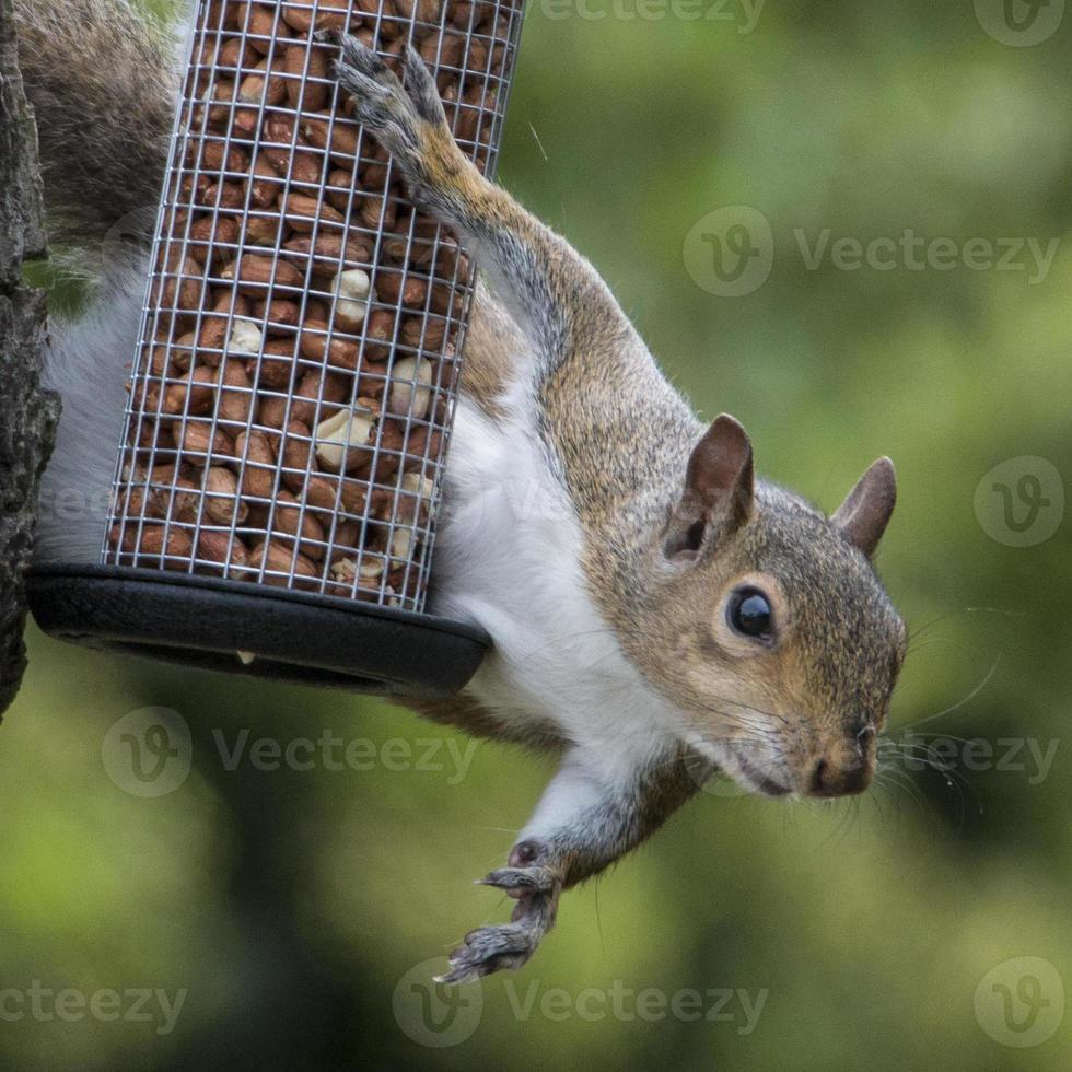 graues Eichhörnchen beim Stehlen von Vogelnüssen erwischt foto