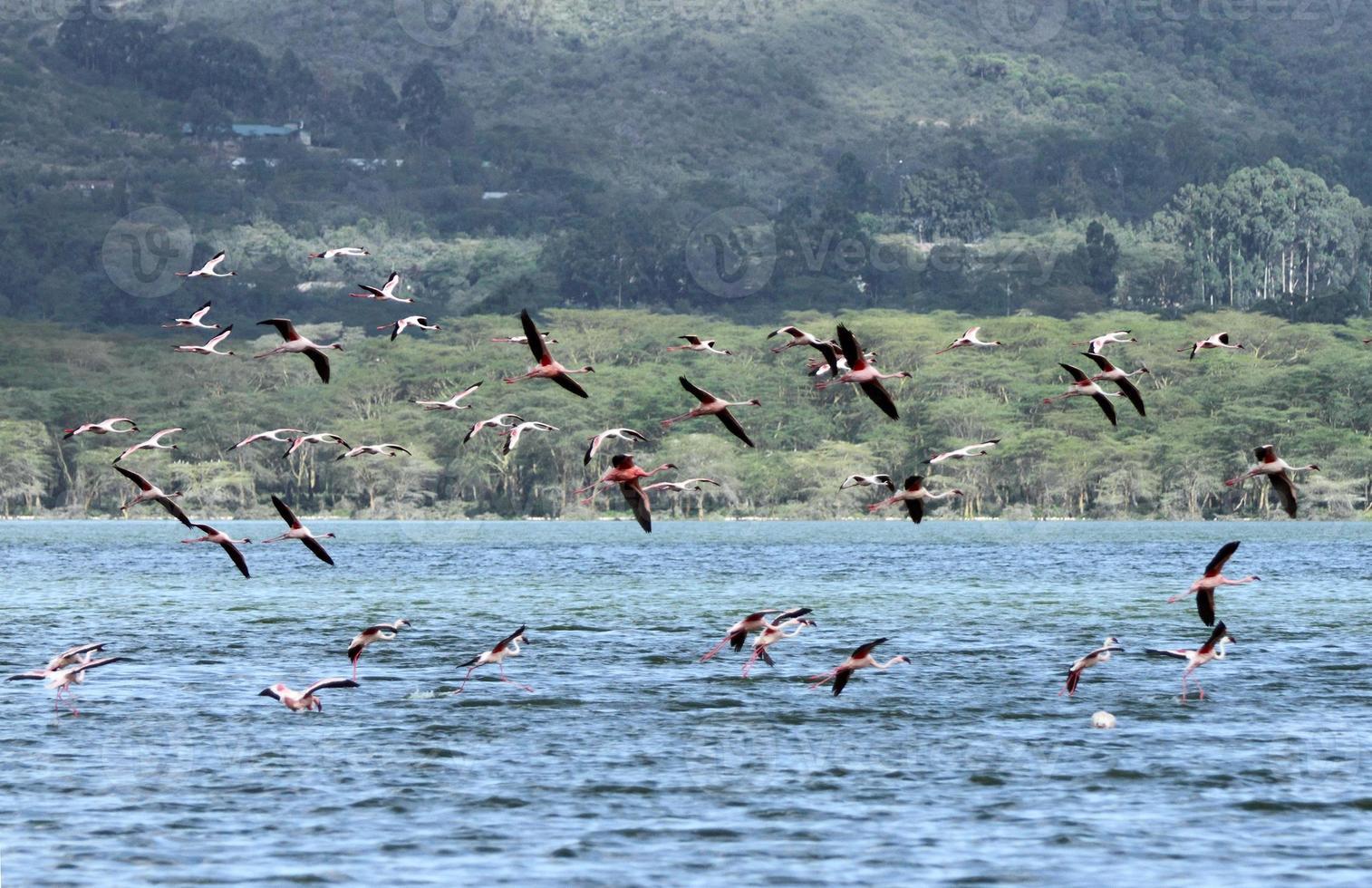 schöne kleinere Flamingos foto