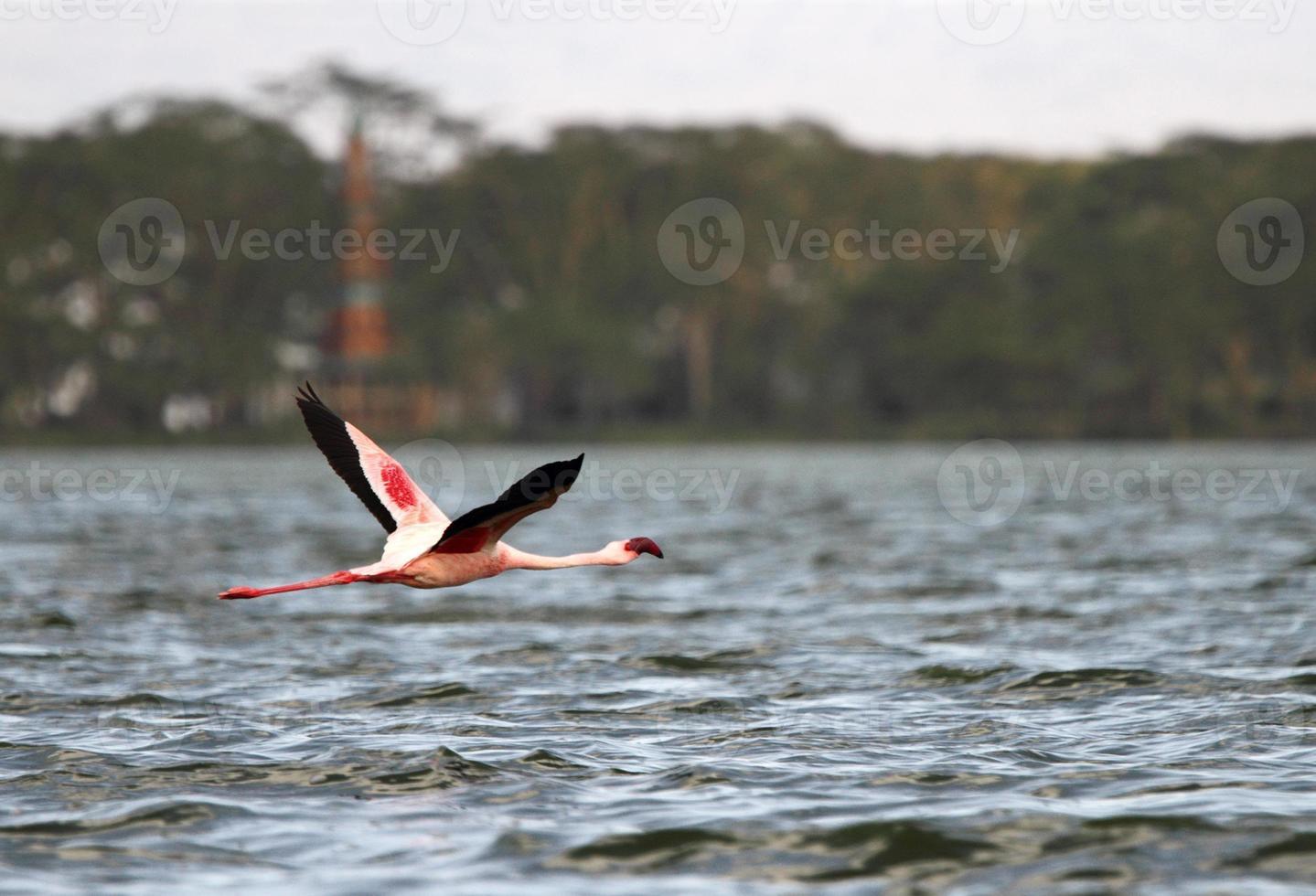 großer Flamingo am See Naivasha foto