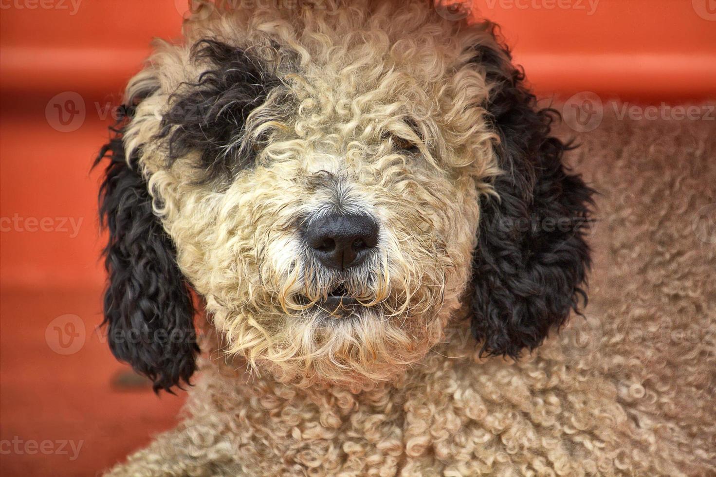haariger Schwarzweiss-Hund, der sich ausruht foto