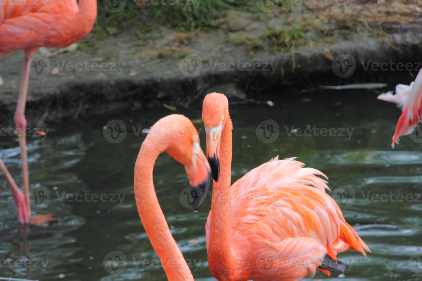 Flamingo. foto