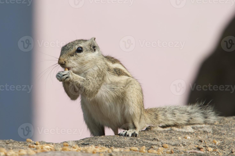 Eichhörnchen an der Wand foto