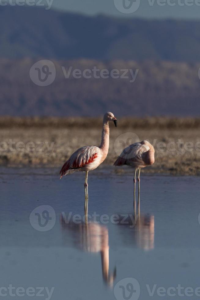 zwei Flamingos im See foto