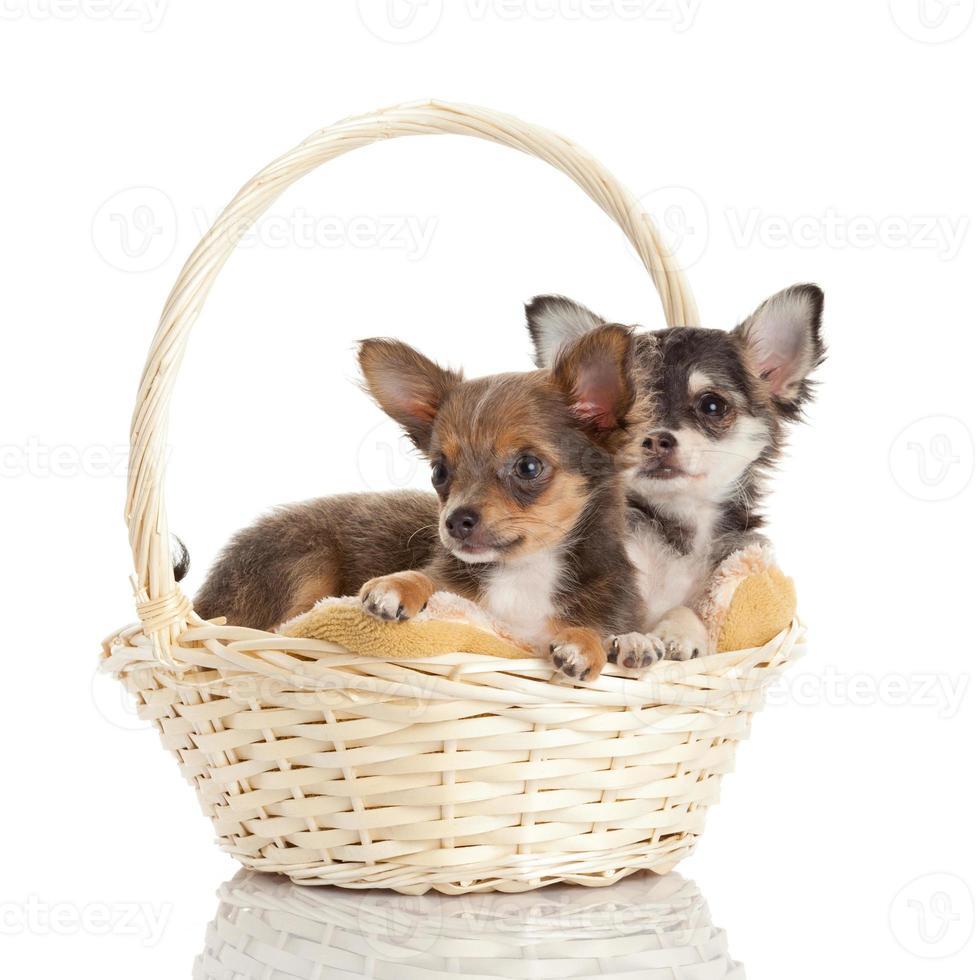 schöne entzückende Chihuahua Welpen foto
