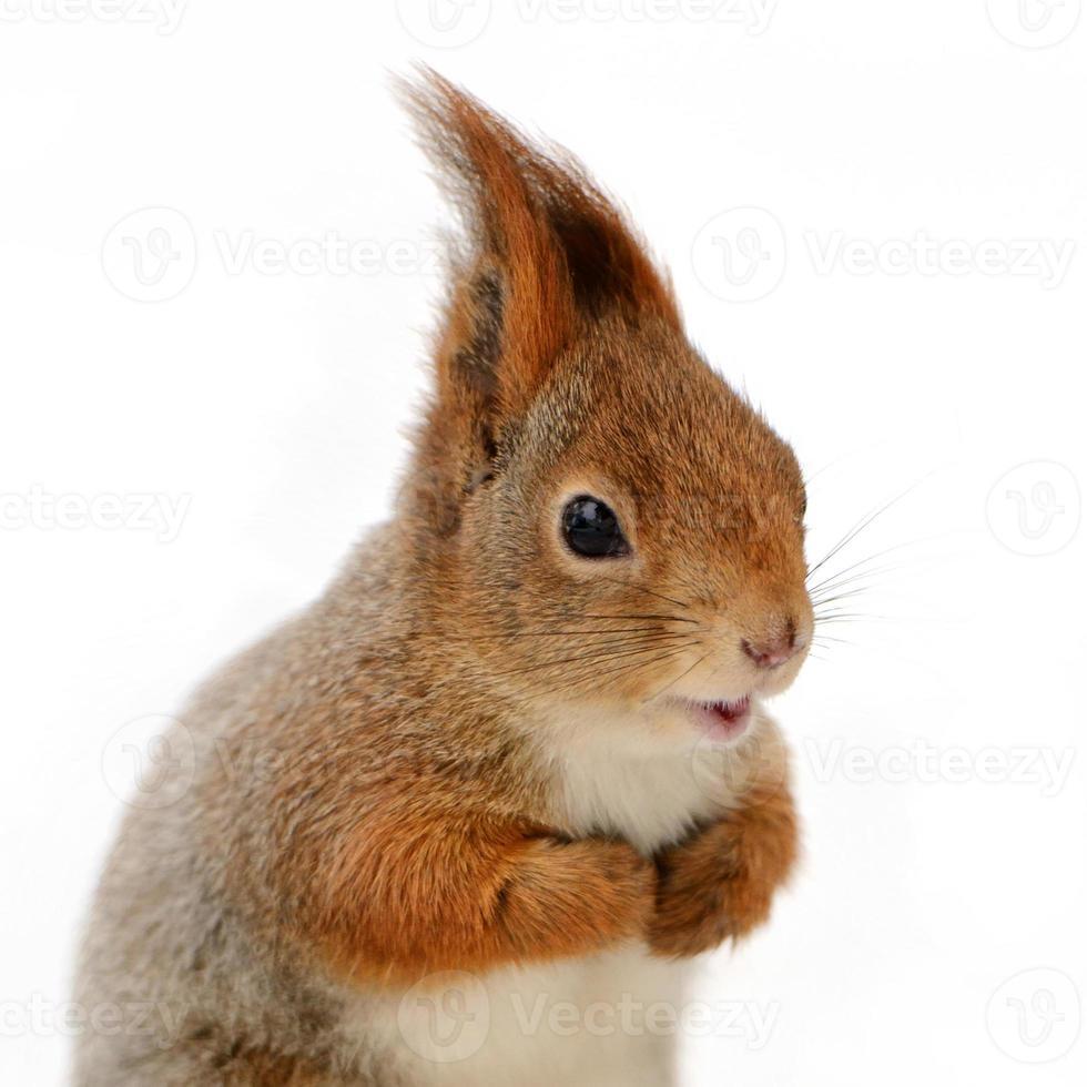 Eurasisches rotes Eichhörnchen vor einem weißen Hintergrund foto