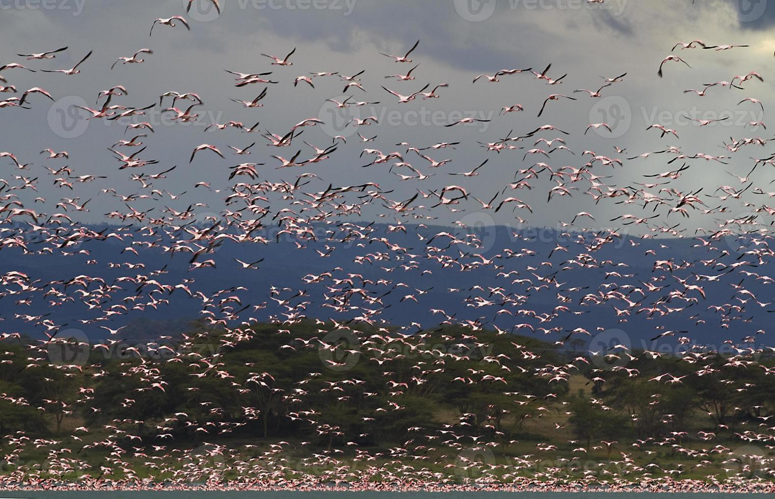 große Gruppe von Flamingos in Lake Oleden, Kenia foto