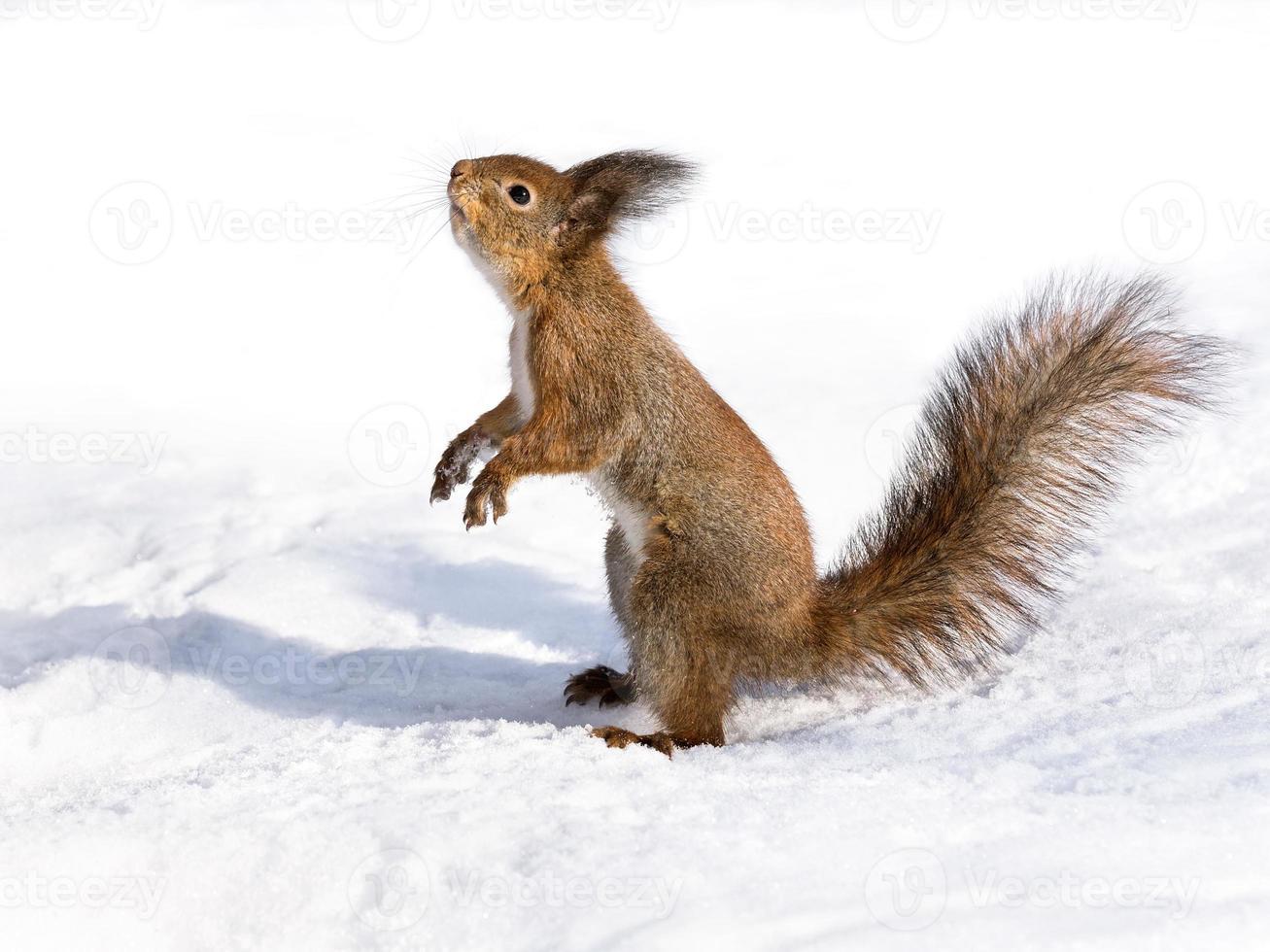 neugieriges Eichhörnchen, das auf dem Schnee steht foto