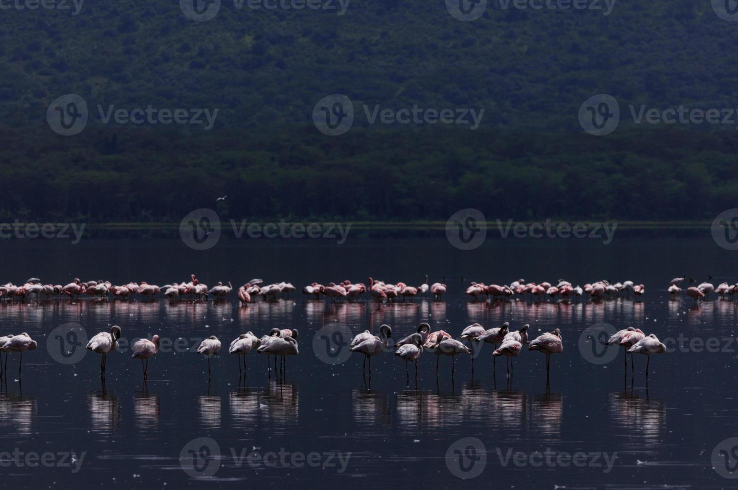 Flamingos am See Nakuru foto
