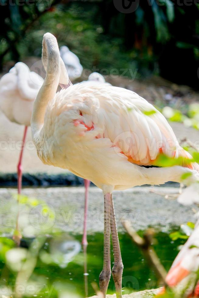 Flamingos im Zoo foto