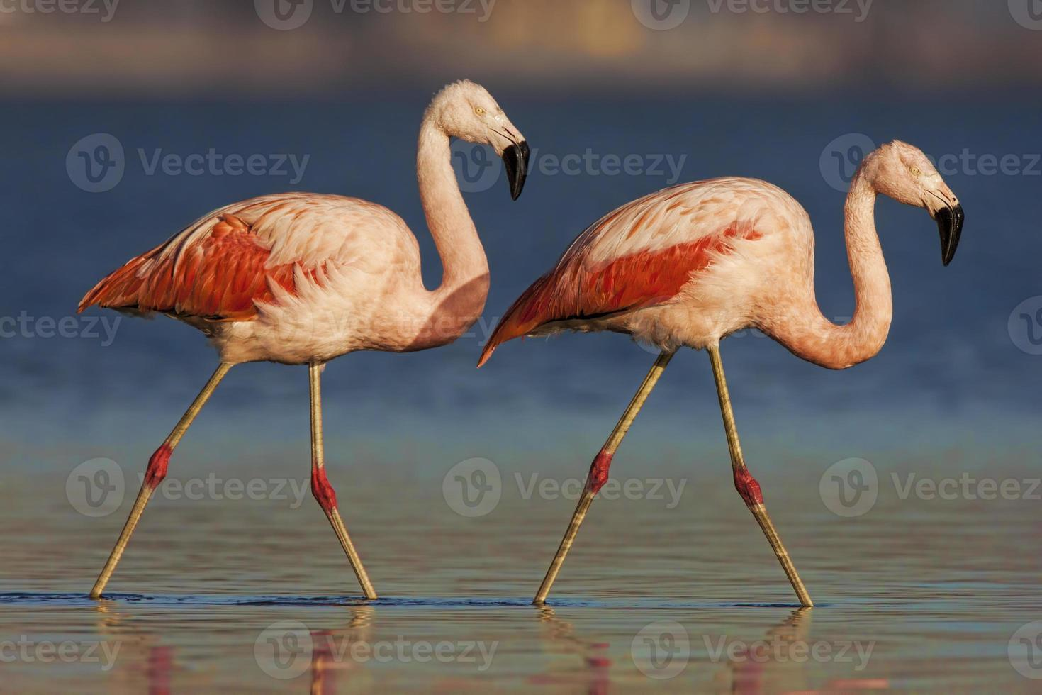 chilenischer Flamingo foto