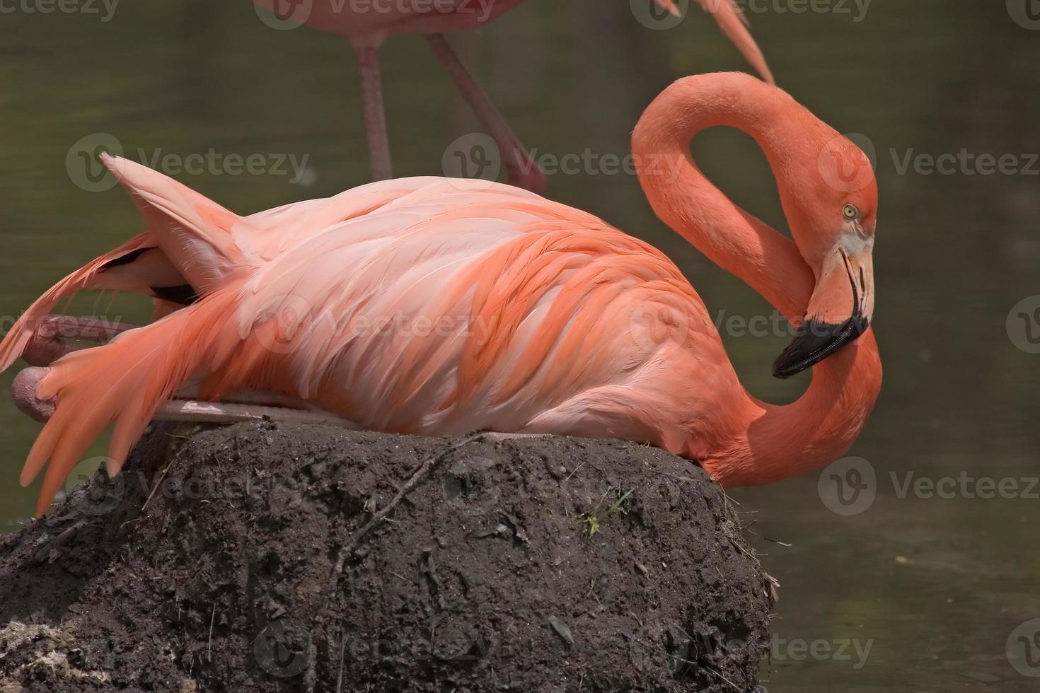 amerikanischer Flamingo foto