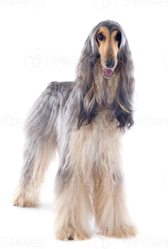 afghanischer Hund foto