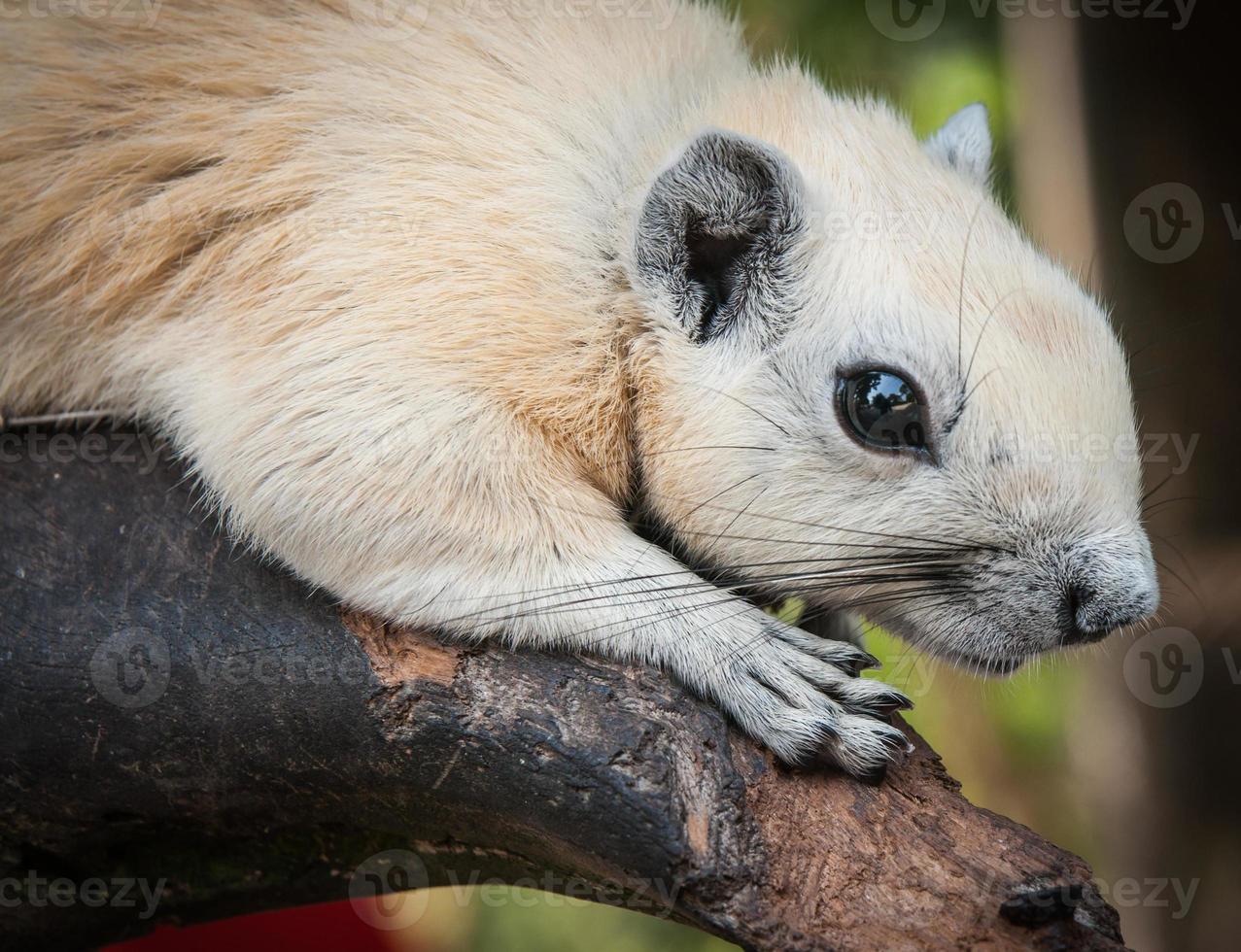 weißes Eichhörnchen, Thailand foto