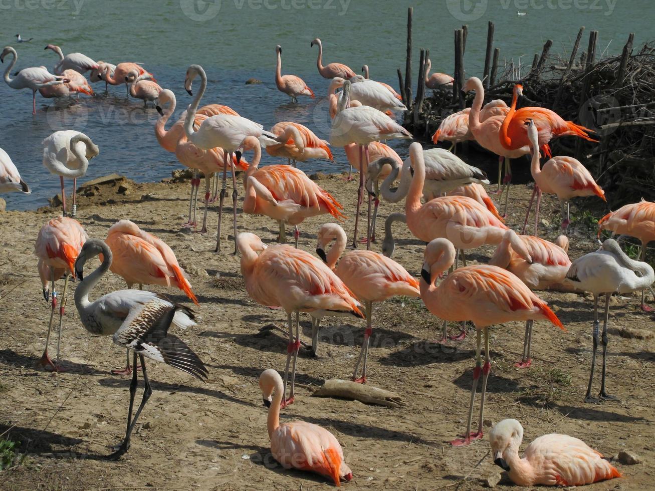 Flamingovogel foto