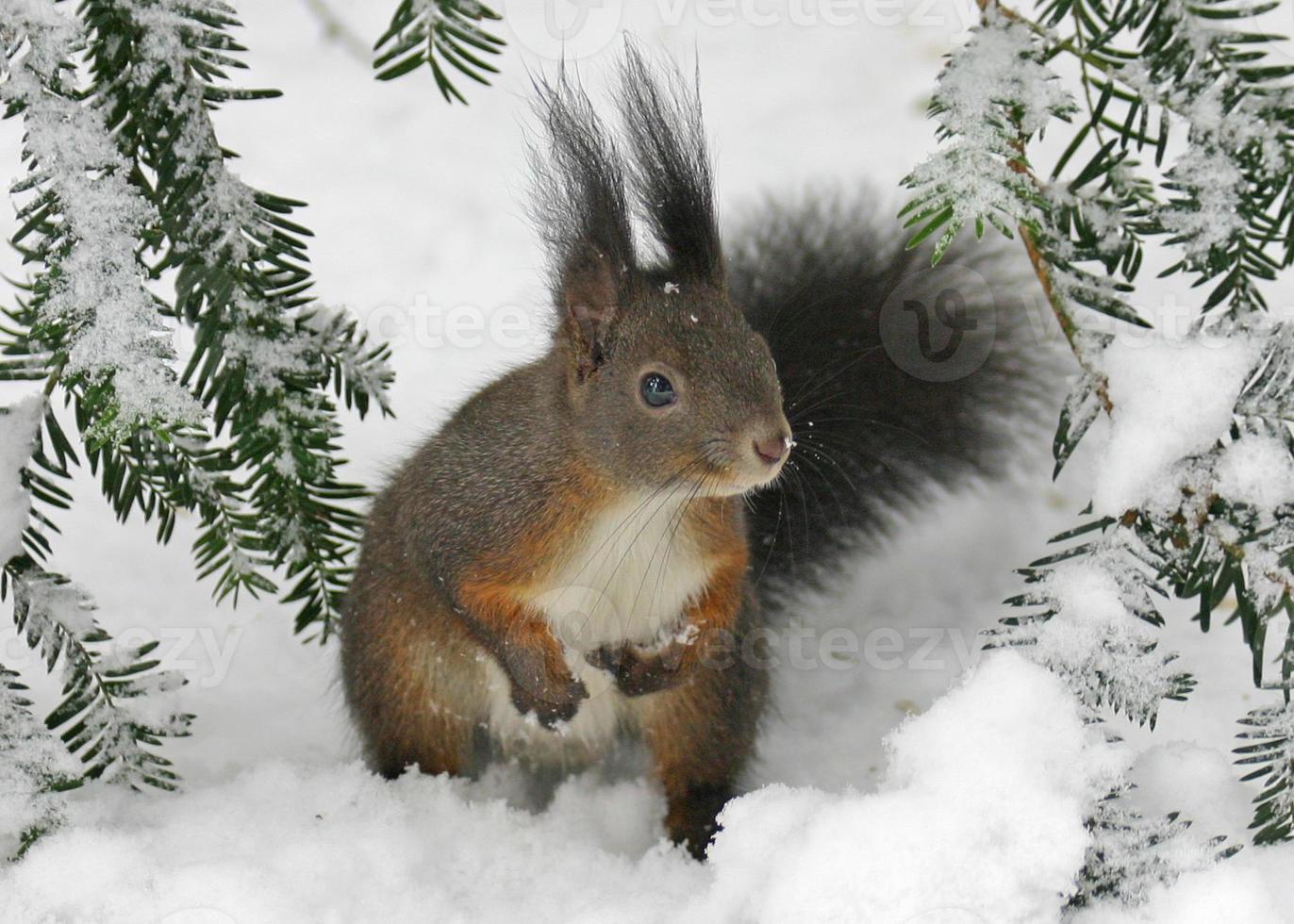 Squirell auf dem Schnee foto