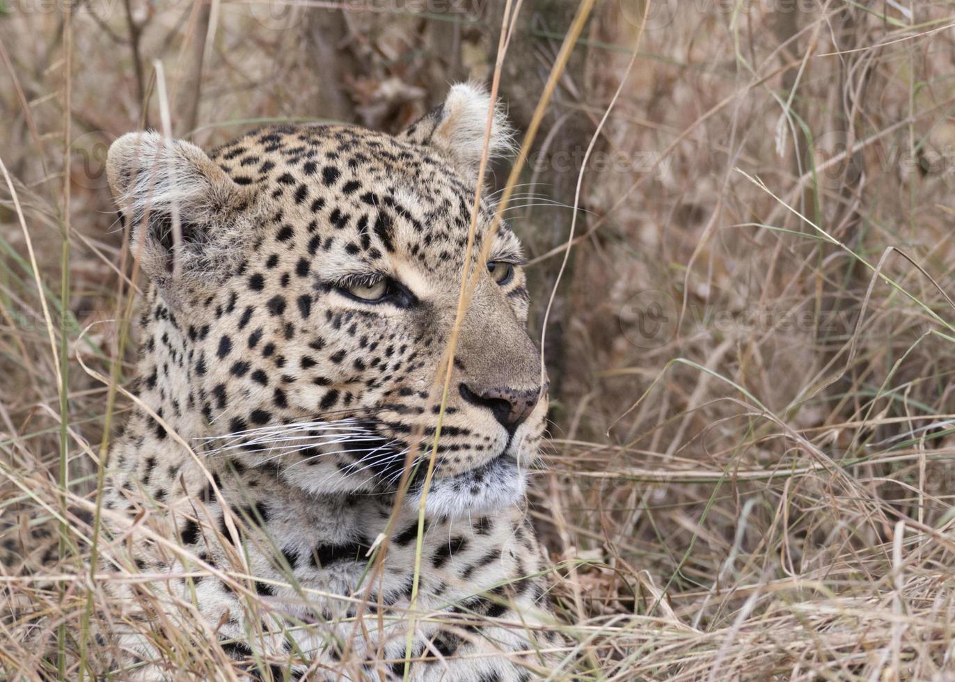 afrikanischer Leopard foto
