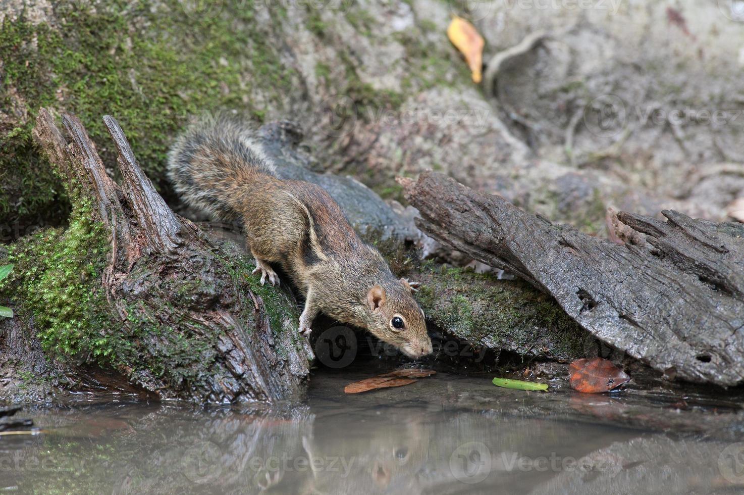 indochinesisches Grundeichhörnchen foto