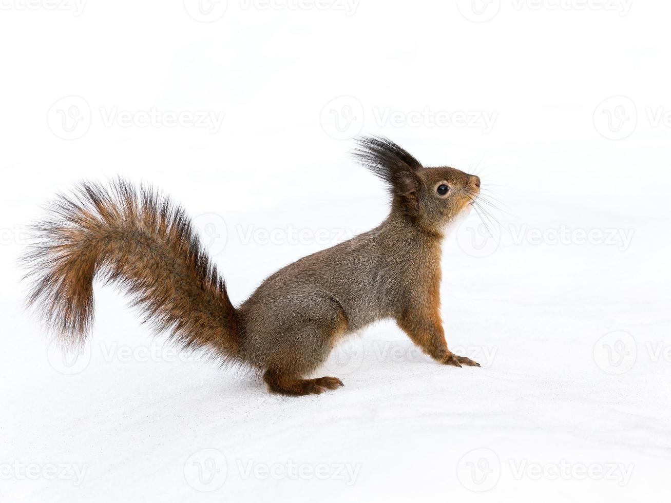 Eichhörnchen auf Schnee foto