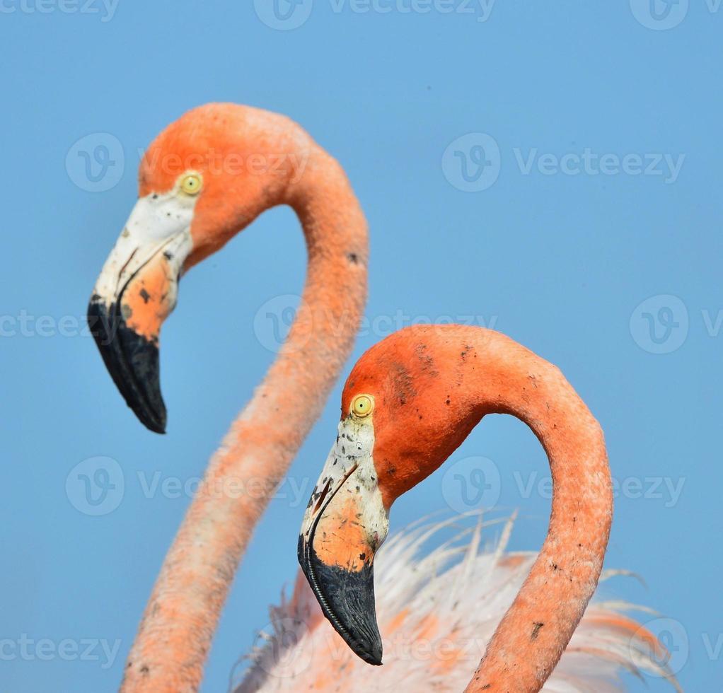 amerikanischer Flamingo. foto