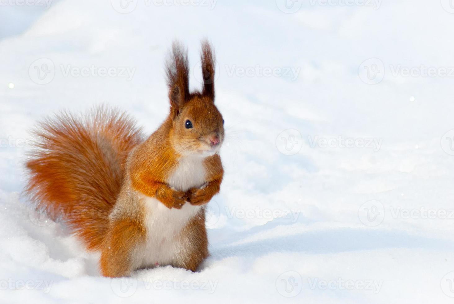 rotes Eichhörnchen auf dem Schnee foto