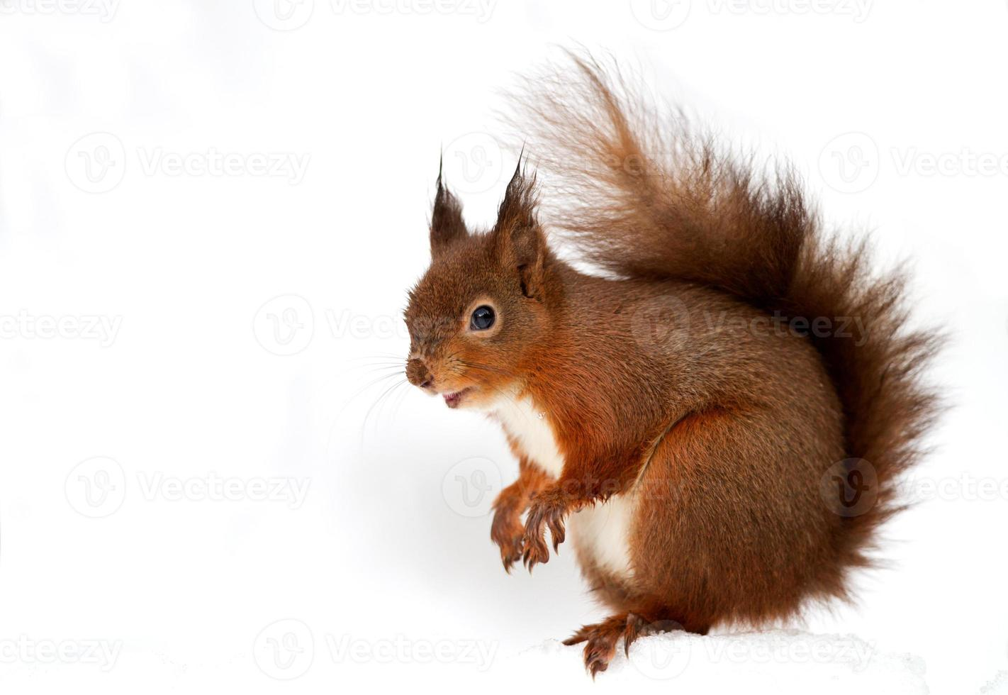 rotes Eichhörnchen (Sciurus vulgaris) foto