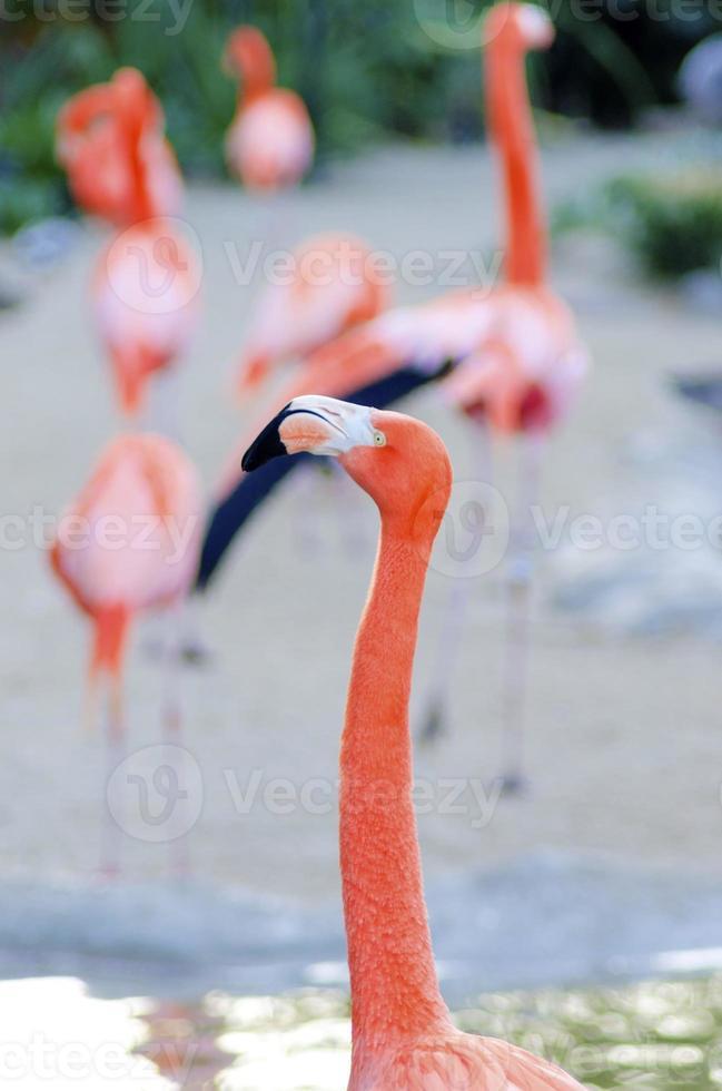 karibischer Flamingo foto